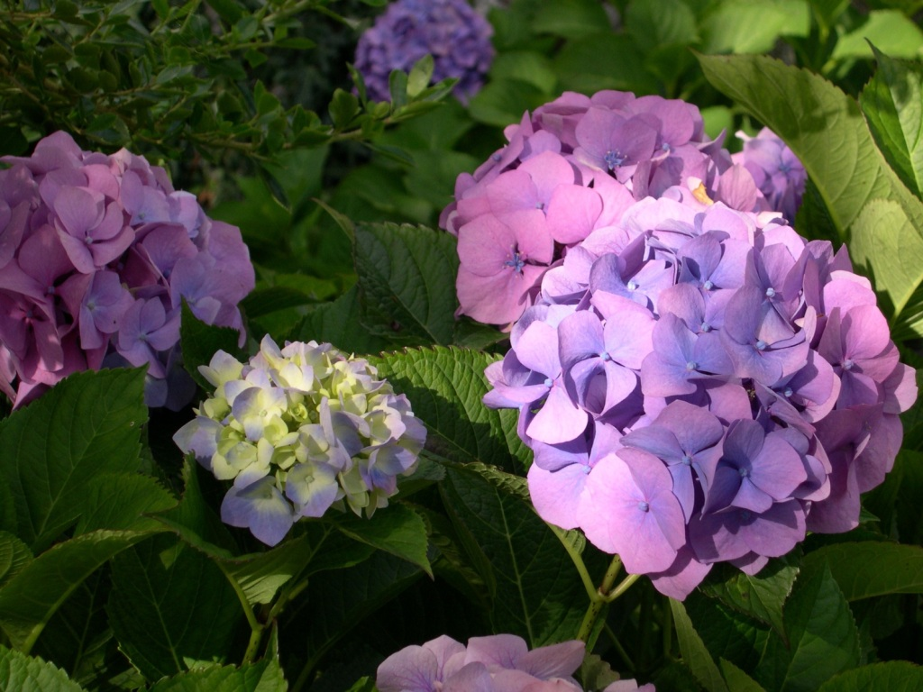 purple hydrangea under sunlight